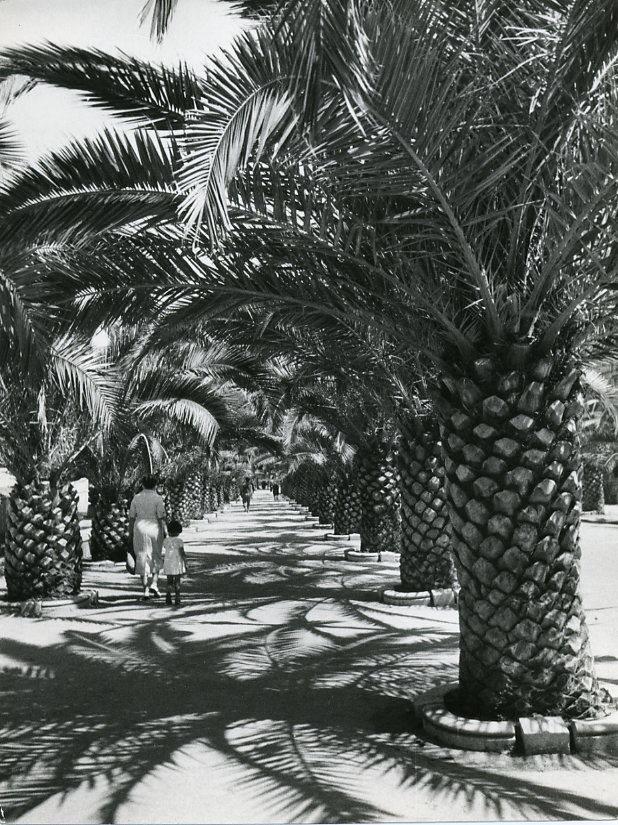 Le palme presenti in Viale della Rimembranza a Sestri Levante